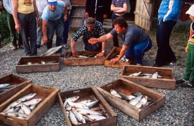 siianjaolla-vuonna-1984-kuva-suomen-kalakirjasto